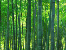 Bamboo forest. Dense asian bamboo forest scenic Royalty Free Stock Photo