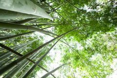 Bamboo forest. Green reeds in a bamboo forest Royalty Free Stock Images