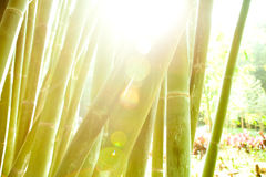 Bamboo forest. Green reeds in a bamboo forest Stock Photo