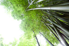 Bamboo forest. Green reeds in a bamboo forest Royalty Free Stock Photo