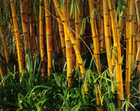 Bamboo forest. Background with leaf Royalty Free Stock Image