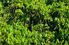 Bamboo forest. With morning sunlight Royalty Free Stock Photo