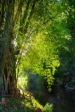 Bamboo forest. Bamboo in forest by river Royalty Free Stock Photography