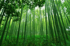 Bamboo forest. High green bamboo in the forest in Japan Royalty Free Stock Image