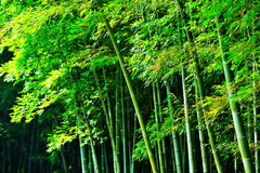 Bamboo forest Royalty Free Stock Image