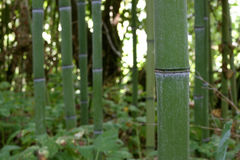 The bamboo forest Stock Images
