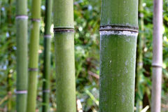 The bamboo forest Royalty Free Stock Image