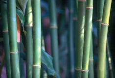 Bamboo forest. Close up of a bamboo trees in forest Royalty Free Stock Image