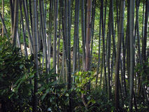 Bamboo forest. A view from a bamboo forest....dark because there was dark Stock Photography