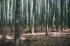 Bamboo forest. Walk in kyoto stock photo