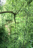 Bamboo Forest. A bird's eye view of a bamboo forest, looking downward from the shoots to the ground, with a large branch silhouetted near the top Stock Photo