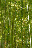 Bamboo Forest. Green Bamboo Forest in summer day background Royalty Free Stock Photo