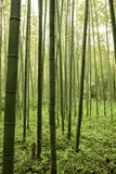 Bamboo forest. Looking through a vast bamboo forest Stock Image