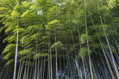 Bamboo forest in Adashino nenbutsuji temple Stock Images