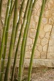 Bamboo forest in Anduze. France Royalty Free Stock Image