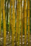 Bamboo forest in Anduze. France Stock Images