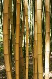Bamboo forest in Anduze. France Stock Photos