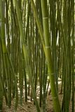 Bamboo forest in Anduze. France Stock Photography