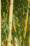 Bamboo forest in Anduze. France Royalty Free Stock Images