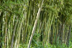Bamboo forest in Anduze. France Stock Image