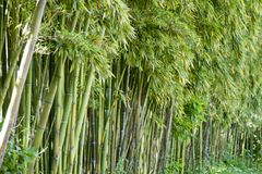 Bamboo forest in Anduze. France Royalty Free Stock Photos