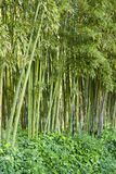 Bamboo forest in Anduze. France Royalty Free Stock Photography