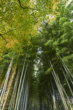 Bamboo forest in Arashiyama Kyoto during Autumn Royalty Free Stock Photo