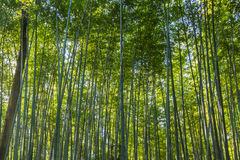 Bamboo forest in Arashiyama Royalty Free Stock Photography