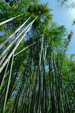 Bamboo forest. In Arashiyama Kyoto Japan Royalty Free Stock Image