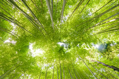 Bamboo forest in Arashiyama, Kyoto Royalty Free Stock Image