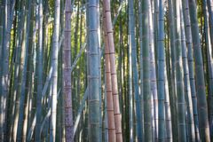 Bamboo Forest in Arashiyama, Kyoto. Japan Royalty Free Stock Photography