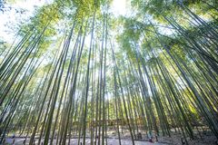 Bamboo Forest in Arashiyama, Kyoto. Japan Royalty Free Stock Photo