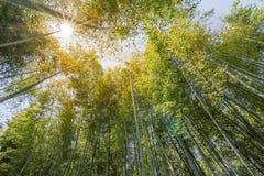 Bamboo forest at Arashiyama Stock Photo