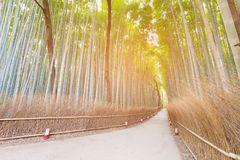 Bamboo forest Arashiyama  with walking way with sunlight effect. Natural landscape background Royalty Free Stock Images