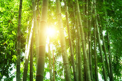 Bamboo forest in Asia Royalty Free Stock Image
