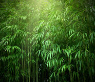 Bamboo forest. Asian Bamboo forest with sunlight Royalty Free Stock Photo