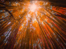 Bamboo forest in autumn royalty free stock photo
