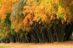 Bamboo forest in autumnal color for zen park and garden royalty free stock images