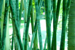 Bamboo forest background Royalty Free Stock Images