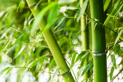 Bamboo forest background Stock Image