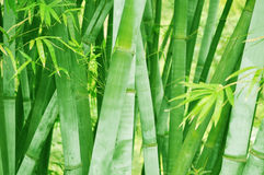 Bamboo Forest Background Royalty Free Stock Photography