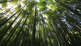 Bamboo forest background stock footage