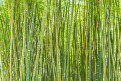 A bamboo forest Stock Photo