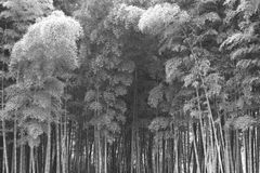 Bamboo forest background monochrome Stock Photography