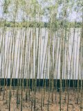 A bamboo forest in spring royalty free stock image
