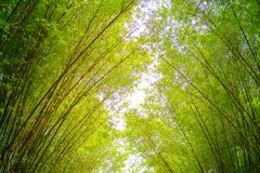 The bamboo forest. Bamboo forest with golden light in the morning Stock Images