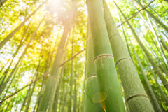 Bamboo forest. Bamboo tree in the forest with sunlight Royalty Free Stock Photo