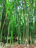 Bamboo forest. Beautiful green nature background Royalty Free Stock Image