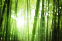 Bamboo Forest. The bokeh in morning Bamboo Forest stock photography