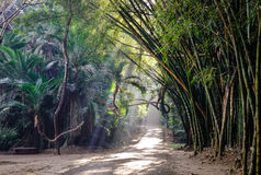 Bamboo forest at the Botanic Garden. In Pyin Oo Lwin, Myanmar. The park has been used to promote extensive ecotourism in Myanmar Royalty Free Stock Photo